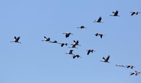 Cranes return ahead of springtime weather