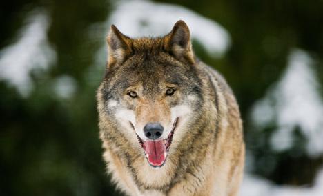 Hunters urge calm as wolves return to Bavaria