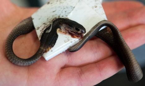 Escaped cobra found dead