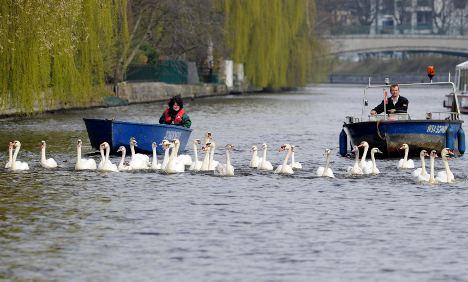 Return of Hamburg's Alster swans signals start of springtime