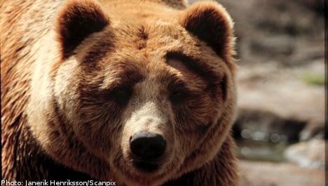 Researcher mauled by 'sleeping' bear