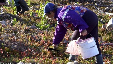 Hungry berry pickers shoot birds for food