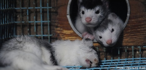 Swedish mink farms slammed for 'cruelty'