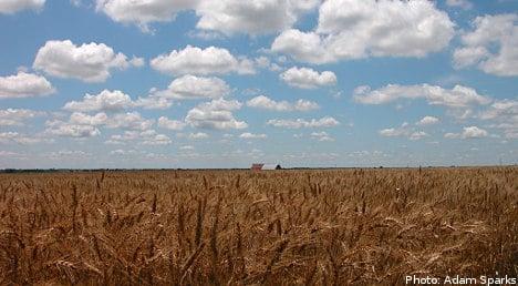Fungal disease threatens Swedish wheat harvest