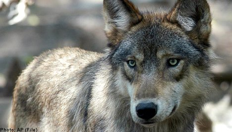 Woman attacked by wolf at wildlife park