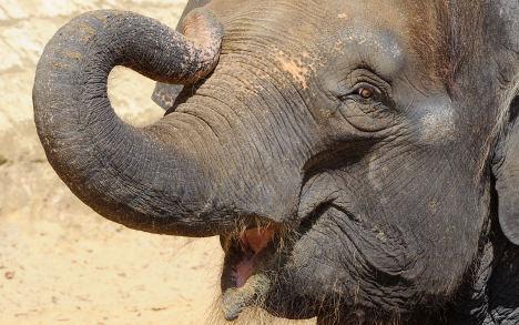 Hungry elephant slings woman across field