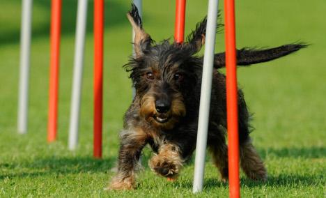 Dead dachshunds pay no bills