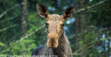 Elk makes unexpected visit to Swedish health clinic