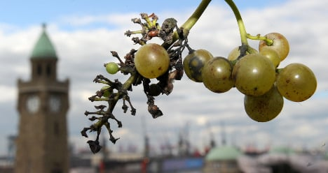 Rare grape harvest cancelled in Hamburg after thieves strip vines
