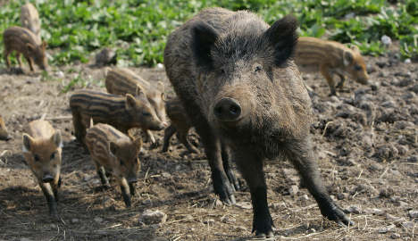 Boar pitch invasion at Hunter Park cancels football match