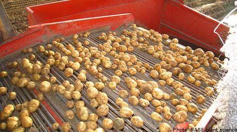 'Frankenfood' potatoes turn up in Swedish field