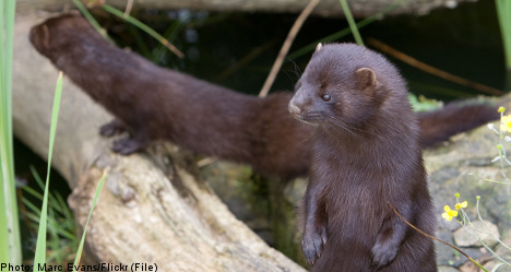 17,000 minks set free in southern Sweden