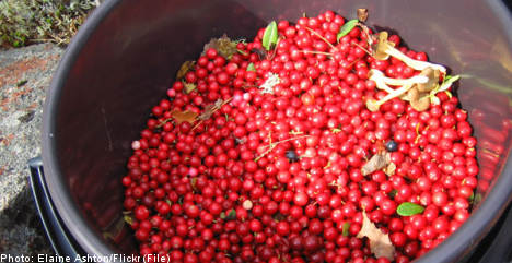 Berry pickers had invalid contract: Swedish union
