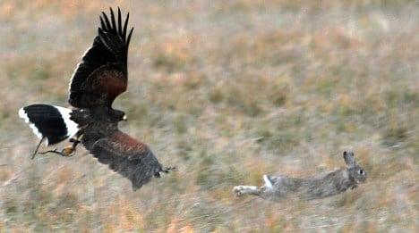 Garden show brings in buzzards to control rabbit plague