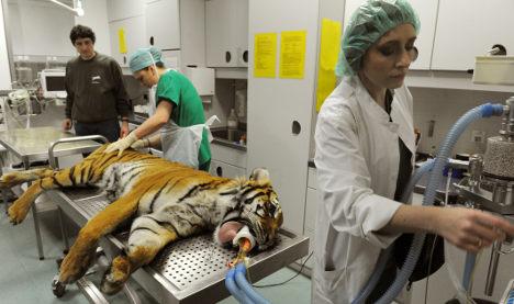 Hip cat: Tiger gets landmark artificial joint operation