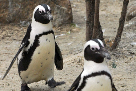 Sandy the penguin finds love among her own kind