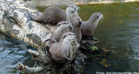 Environmental toxins threaten Swedish otters