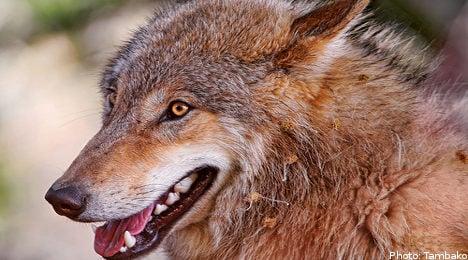 Wolf hunt saves animals from inbreeding: minister