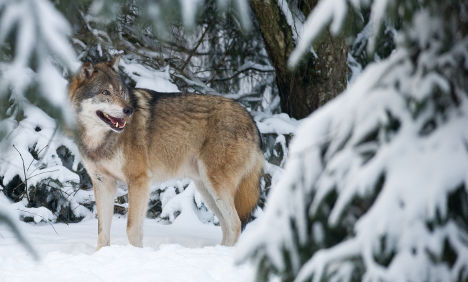 Lone wolf attacks 15 sheep overnight