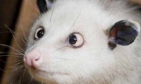 Heidi the cross-eyed opossum to tip Oscars