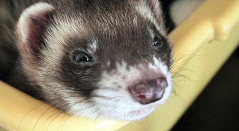 Swedish infant scarred in violent ferret attack