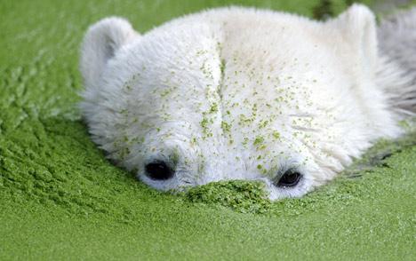 Polar bear's death brings tears and criticism