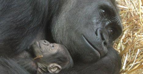 Zürich zoo celebrates gorilla birth