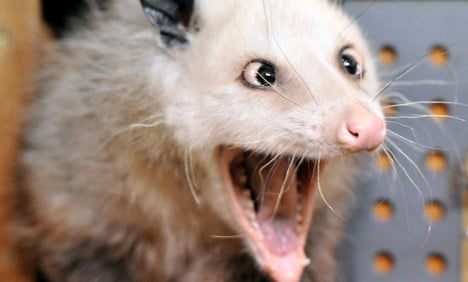 Portly cross-eyed opossum Heidi slims down with strict diet
