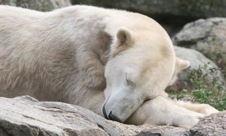 Polar bear star Knut dies