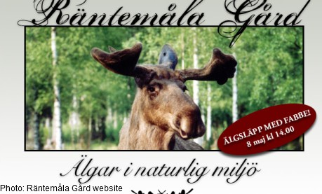 Famous Swedish elk is pregnant
