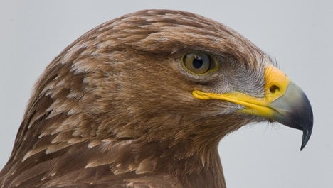 Live webcam the first to show intimate scenes of eagle family life