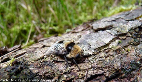 Swedish insect shoots larvae into victims' eyes