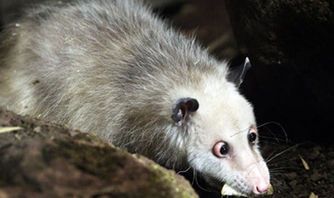 Cross-eyed opossum gets new enclosure, prepares for big debut