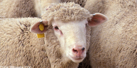 Swedish man convicted of sex with sheep
