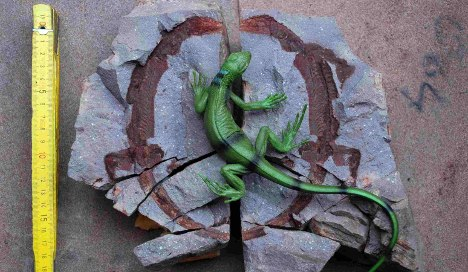 Fossils in Saxony shed light on ancient lizard life
