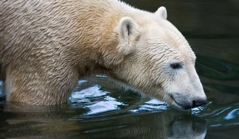 Polar bear Knut's body on ice four months later