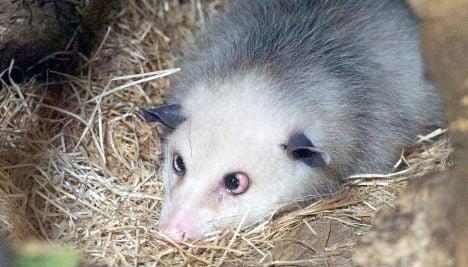 Leipzig Zoo unveils new home for Heidi the cross-eyed opossum