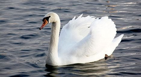 City lake swan killed after attack on swimmer
