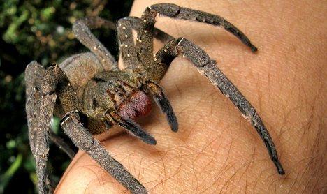 Dangerous stowaway spider likely dead