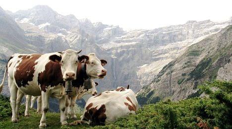 Crazy cows attack Alpine hikers