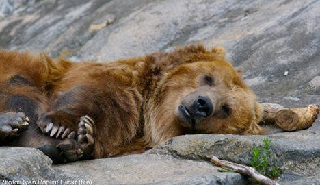 Bear hunting season opens in Sweden