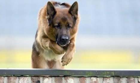 Police ditching the German Shepherd for Belgian breed