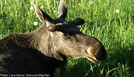 Swedish elk 'too small': disgruntled Danes