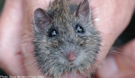 Mouse that grounded SAS jet 'still at large'
