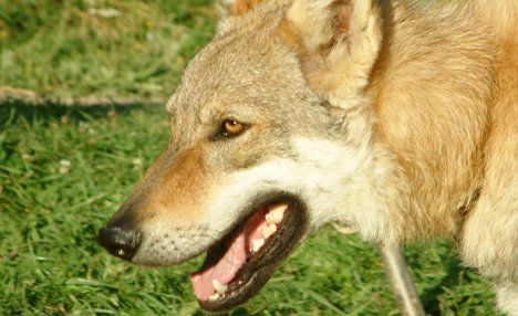 Mini-zoo uncovered after wolfdog bites
