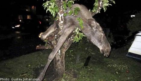 Drunken elk rescued from Swede's apple tree