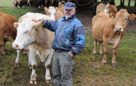 Cows can't go home for fear of Hessian herpes