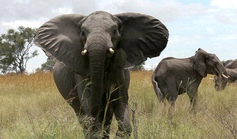 Elephant death tourist 'crushed by husband'