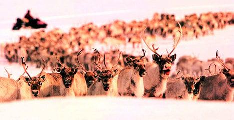 Norway issues pre-Christmas reindeer slaughter threat