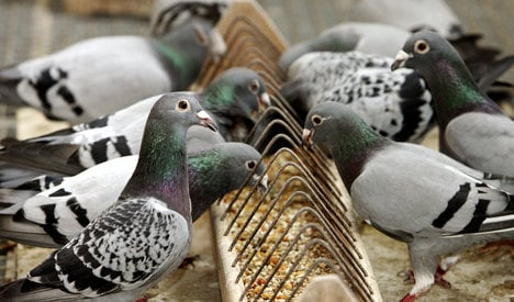Bird-killer rips heads off homing pigeons
